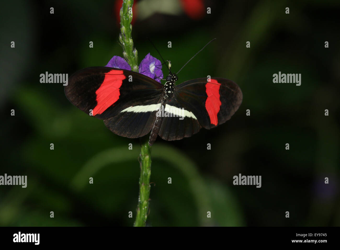 Butterfly. Red Postman, Heliconius erato. The Butterfly Conservatory at Niagara Parks Botanical Gardens, Ontario, - Stock Image