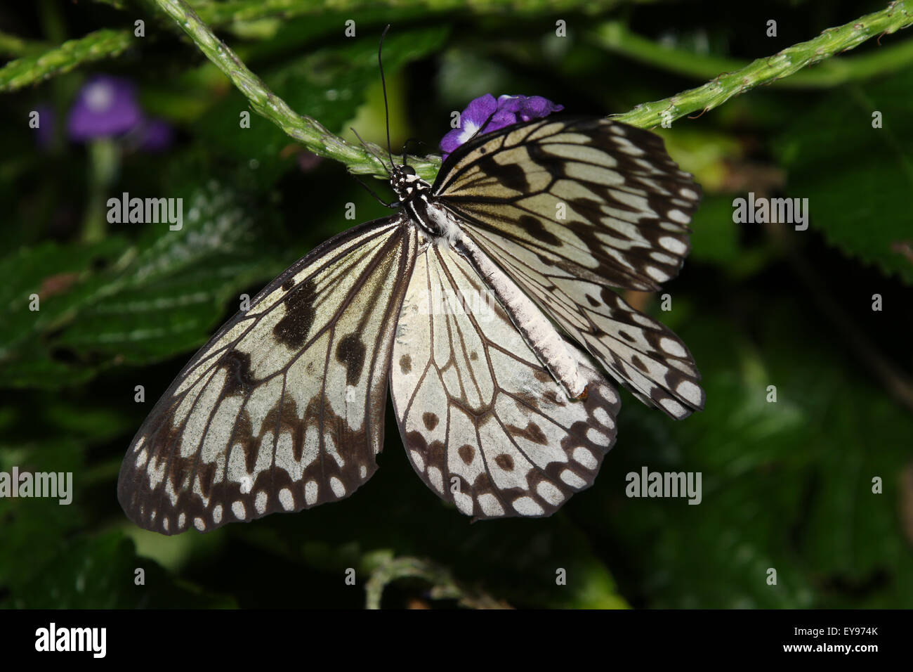 Butterfly. Rice Paper, Paper Kite, Idea leuconoe. The Butterfly Conservatory at Niagara Parks Botanical Gardens, - Stock Image