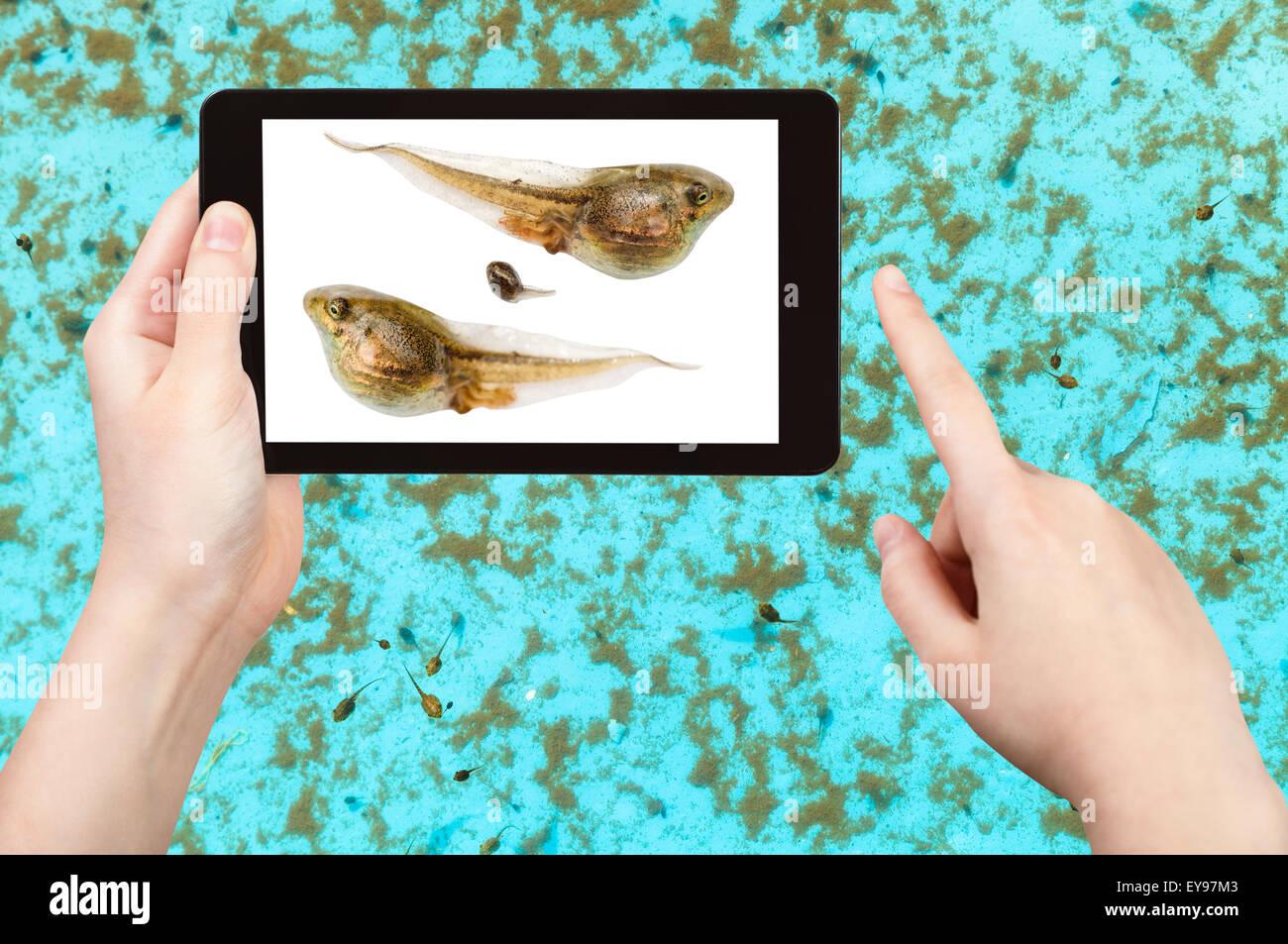 naturalist studies tadpoles of frog in water pool on tablet pc - Stock Image