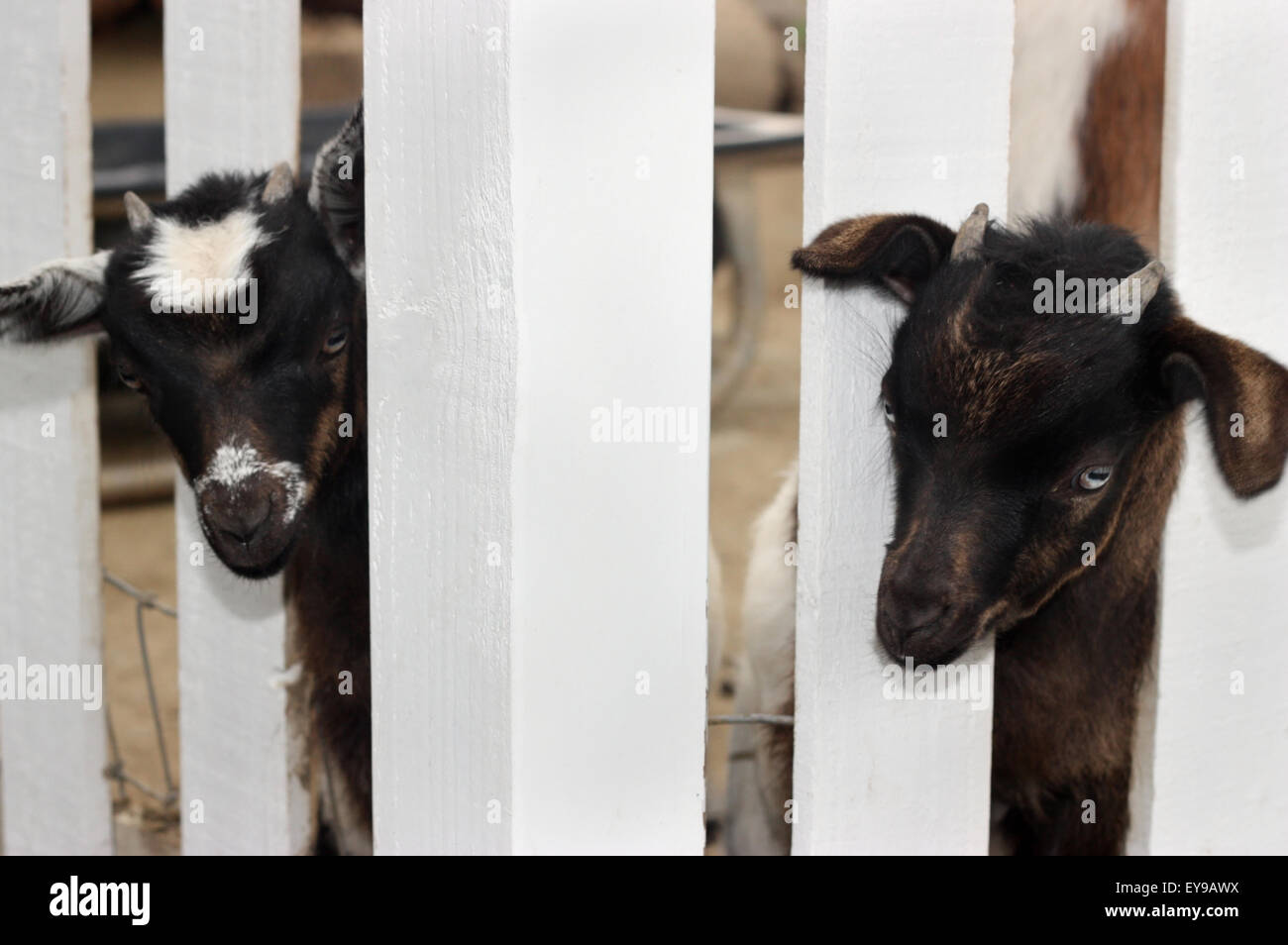 Goat And Fence Stock Photos & Goat And Fence Stock Images - Alamy