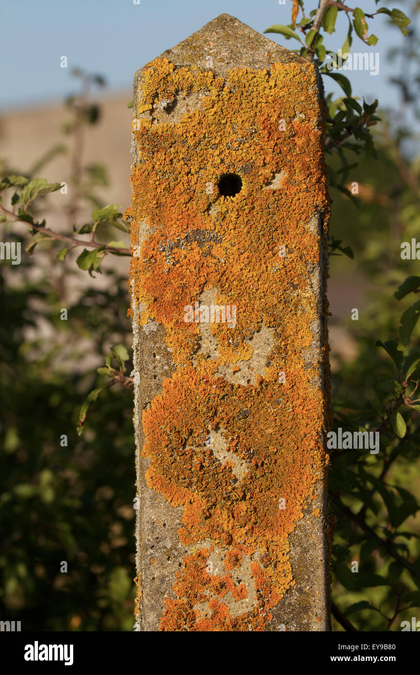 Lichens on concrete fence post, France - Stock Image