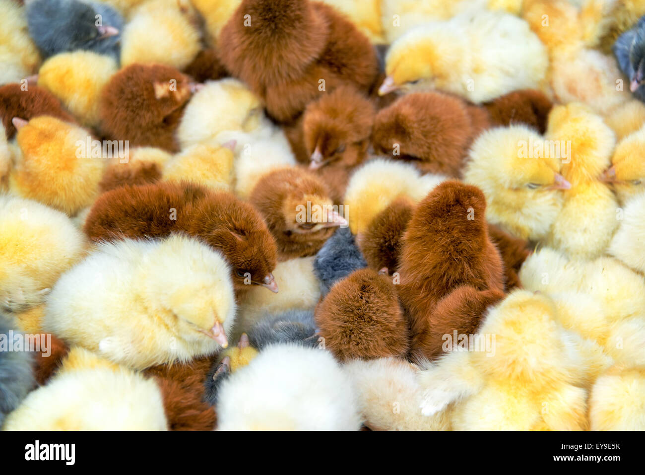 Closeup view of yellow, brown, and grey chicks in the animal market of Otavalo, Ecuador - Stock Image