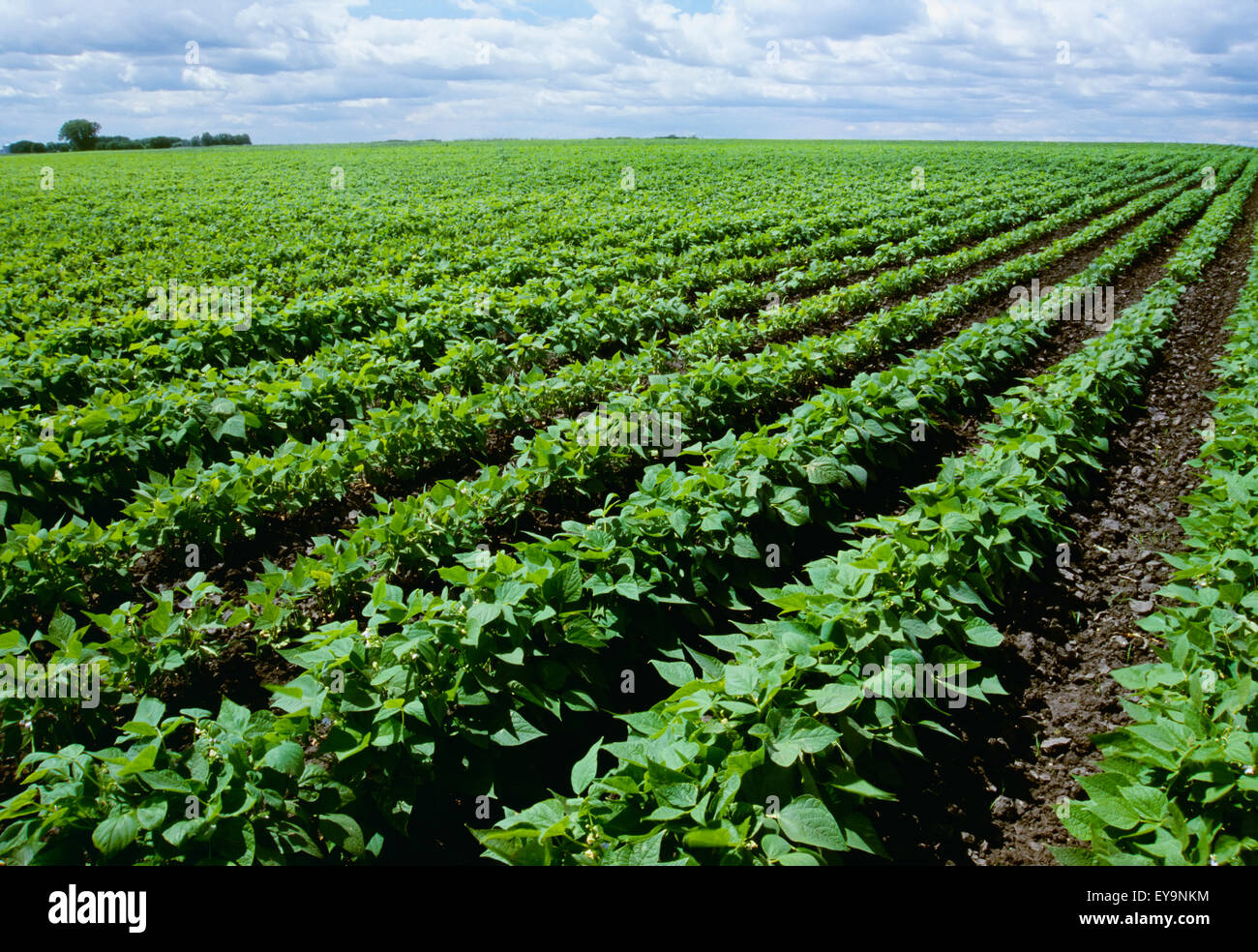 Agriculture Field Of Mid Growth Red Kidney Bean Plants Just Stock Photo Alamy
