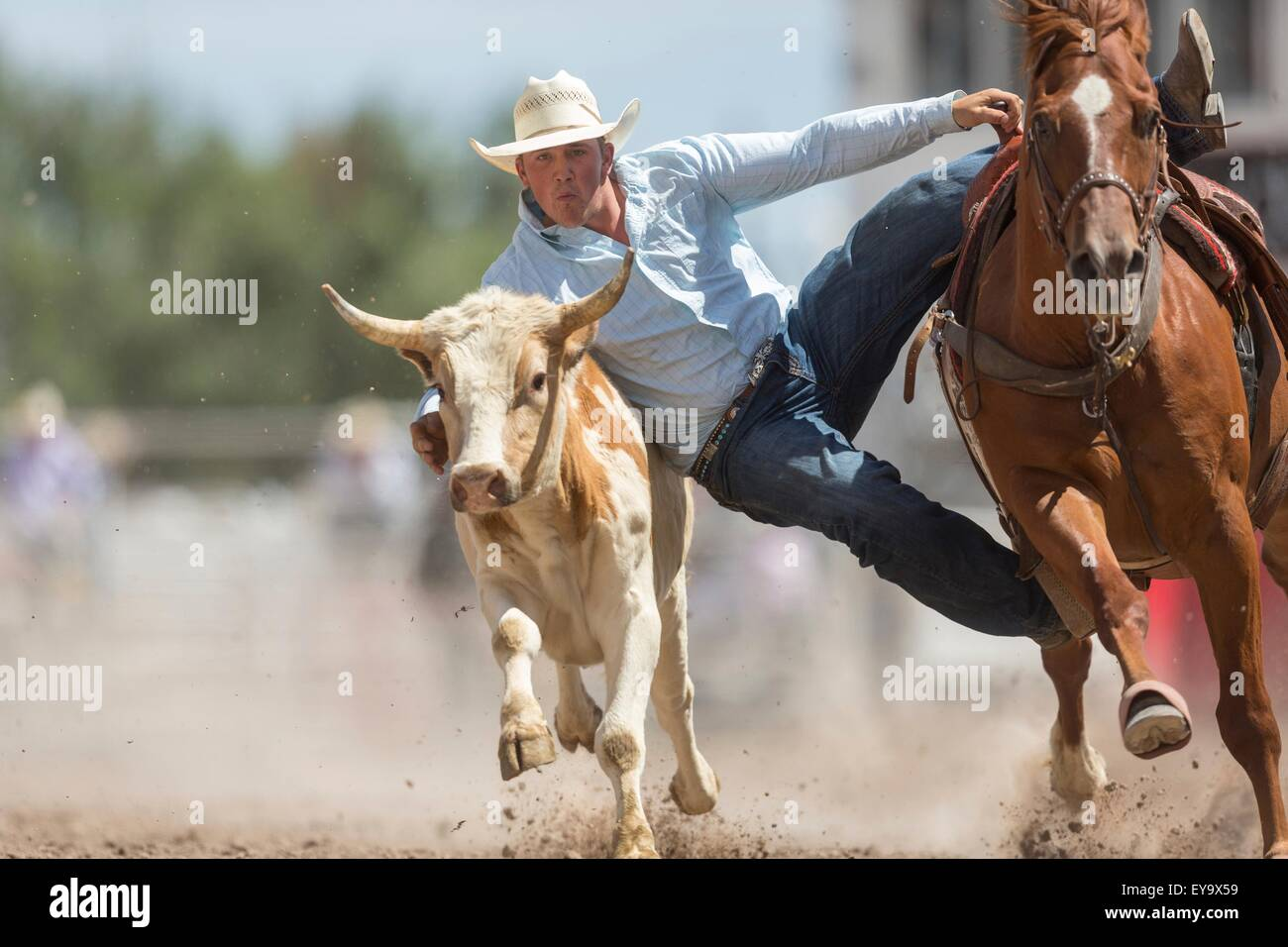 Cheyenne, Wyoming, USA. 24th July, 2015. Steer Wrestler Garrett Smith of Rexburg, Idaho grabs the horns of a steer - Stock Image