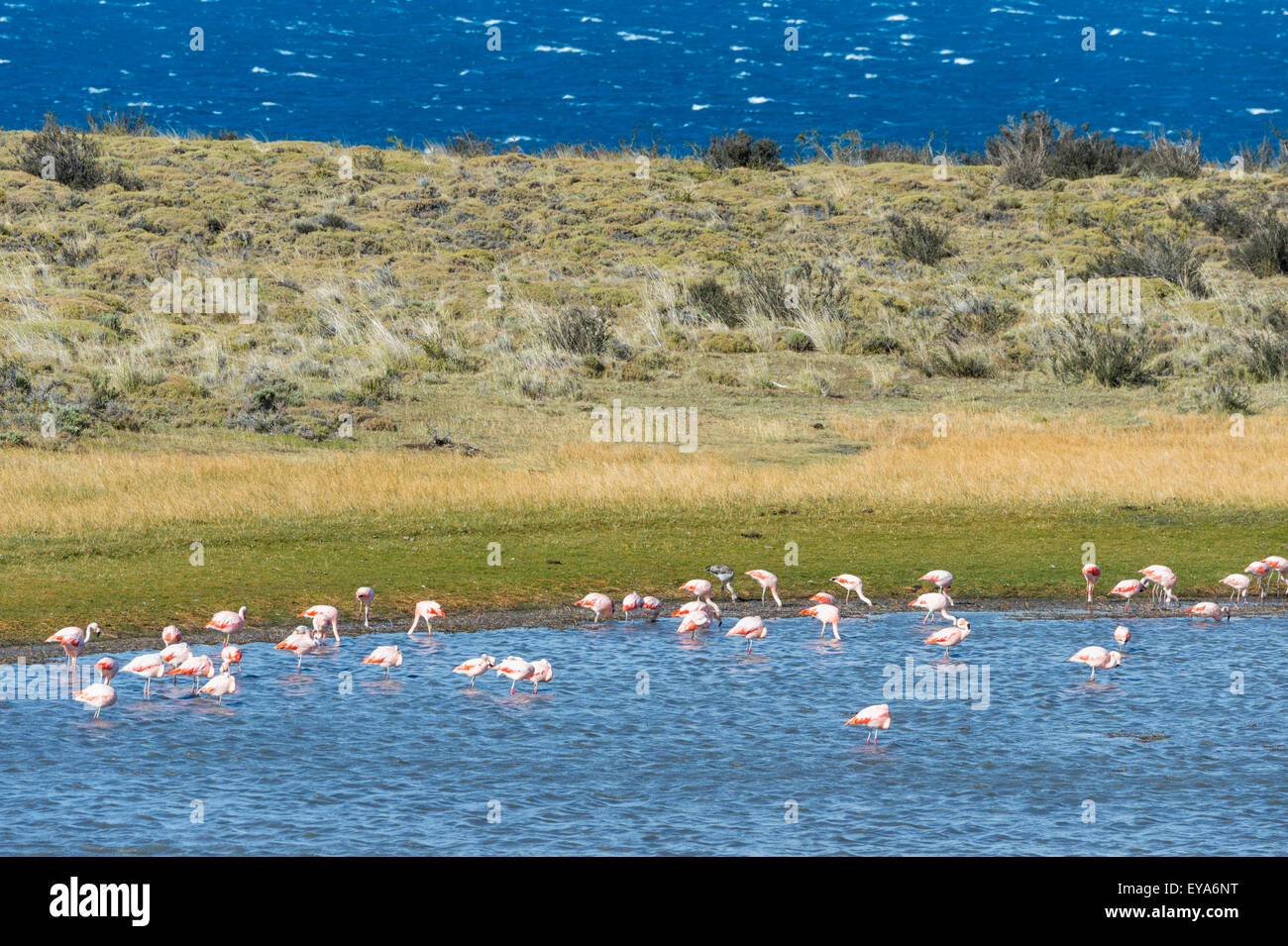 Chilean flamingos (Phoenicopterus chilensis), Torres del Paine National Park, Chilean Patagonia, Chile - Stock Image