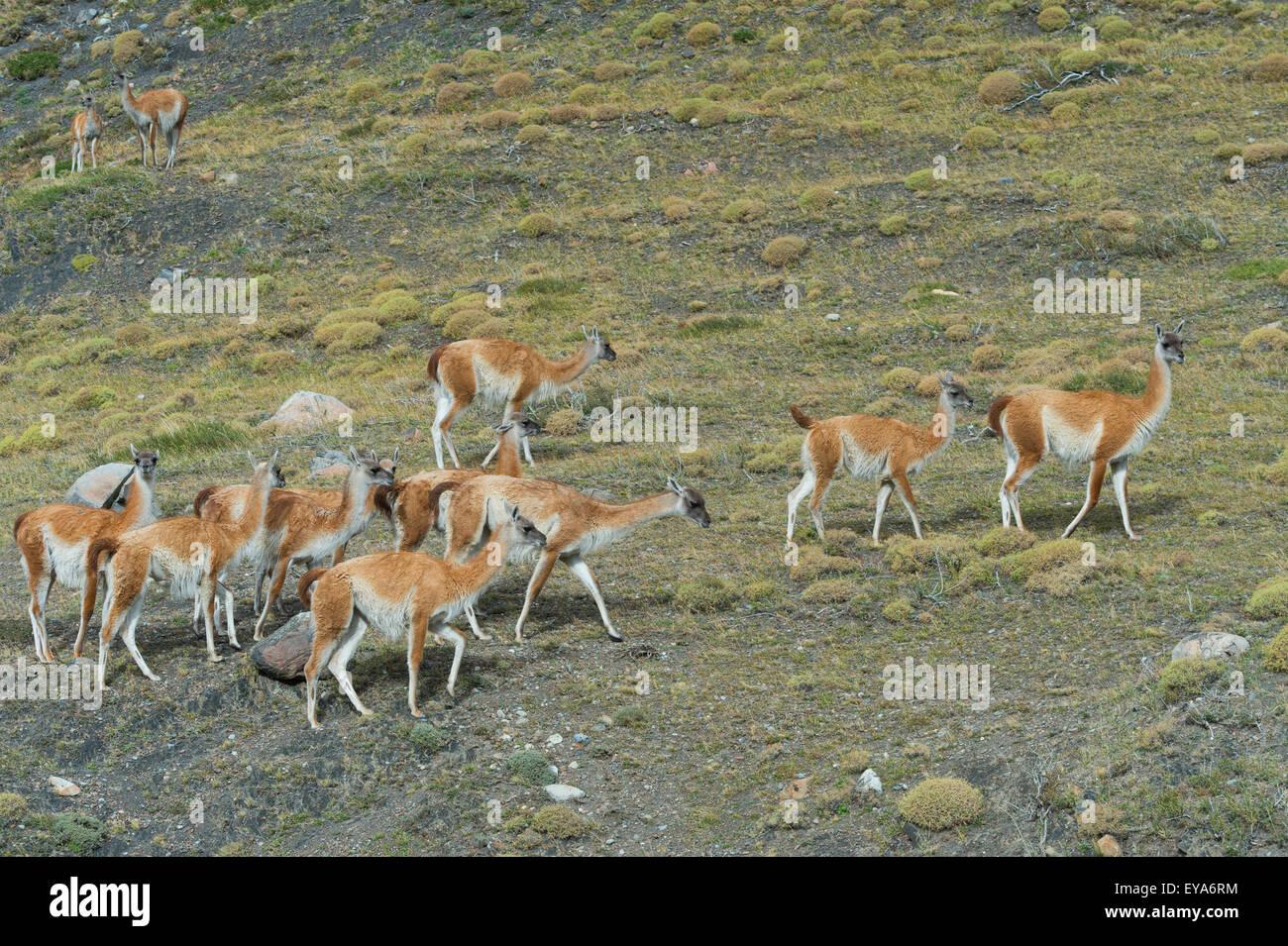 Guanacos (Lama guanicoe), Torres del Paine National Park, Chilean Patagonia, Chile - Stock Image