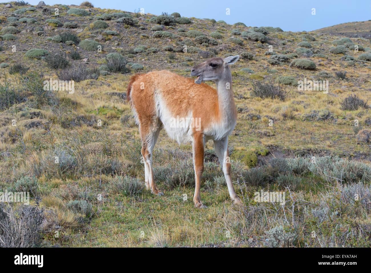 Guanaco (Lama guanicoe), Torres del Paine National Park, Chilean Patagonia, Chile - Stock Image