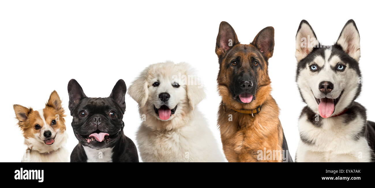 Close-up on dogs head in front of a white background Stock Photo