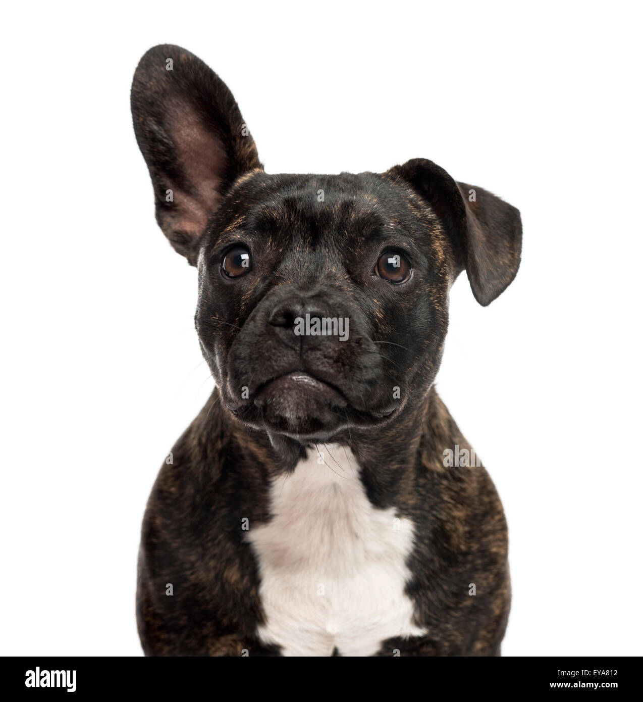Close-up of a Staffordshire Bull Terrier in front of a white background - Stock Image