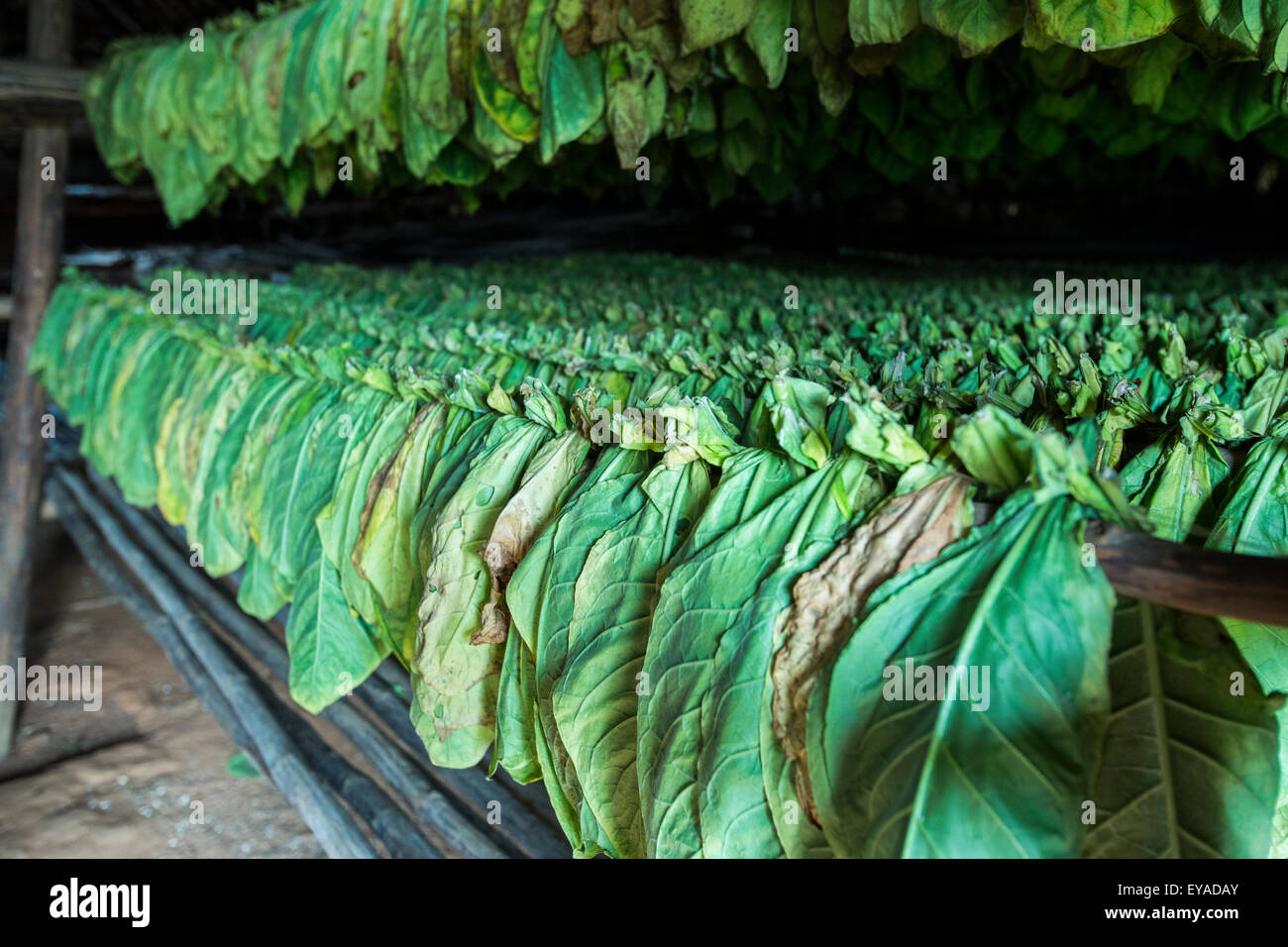 Tobacco leaves hanging in a shed - Stock Image