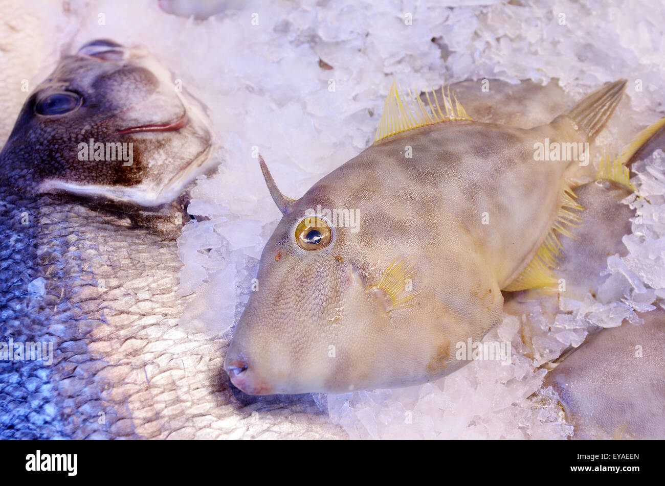 Leatherjacket fish Parika scaber ) on display in fish market.Food background texture. Stock Photo