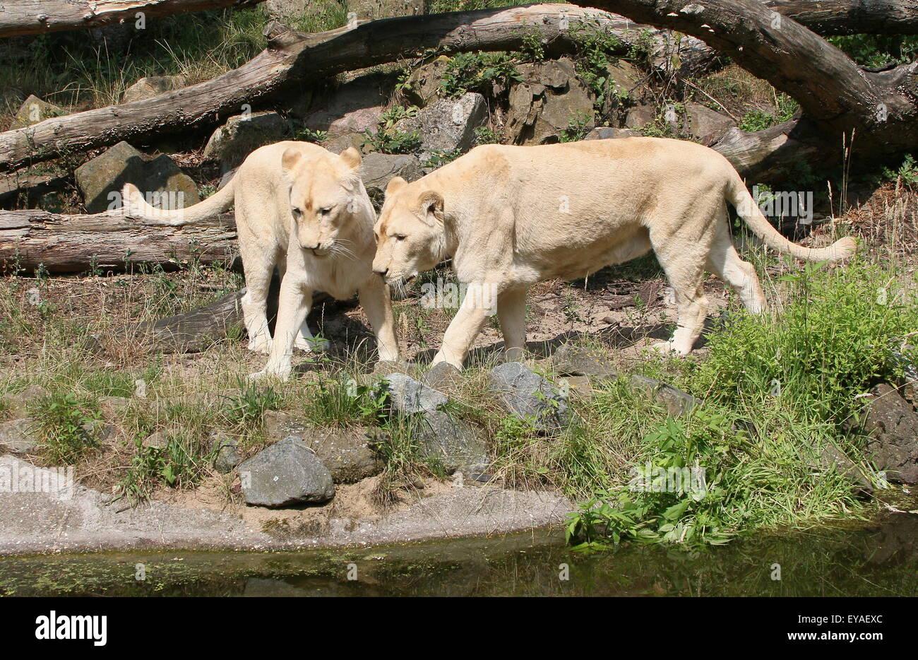 Pair of Juvenile white lions (Panthera leo Krugeri) Stock Photo