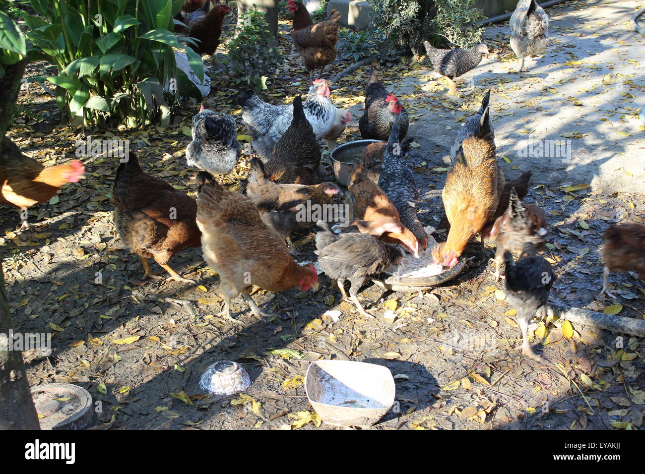 Poultry are eating , hen - Stock Image
