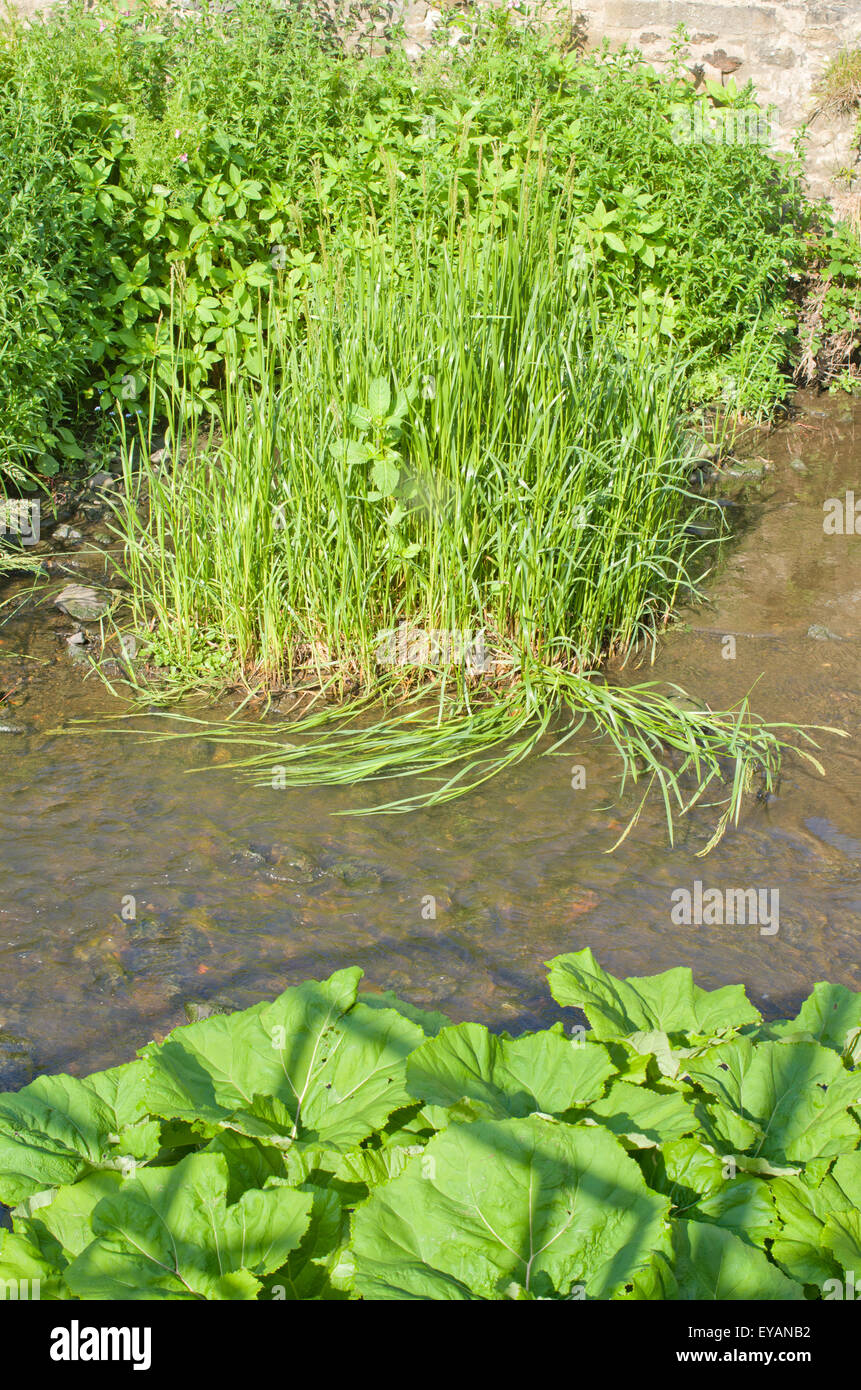 Green aquatic plants thrive in clear stream water. - Stock Image