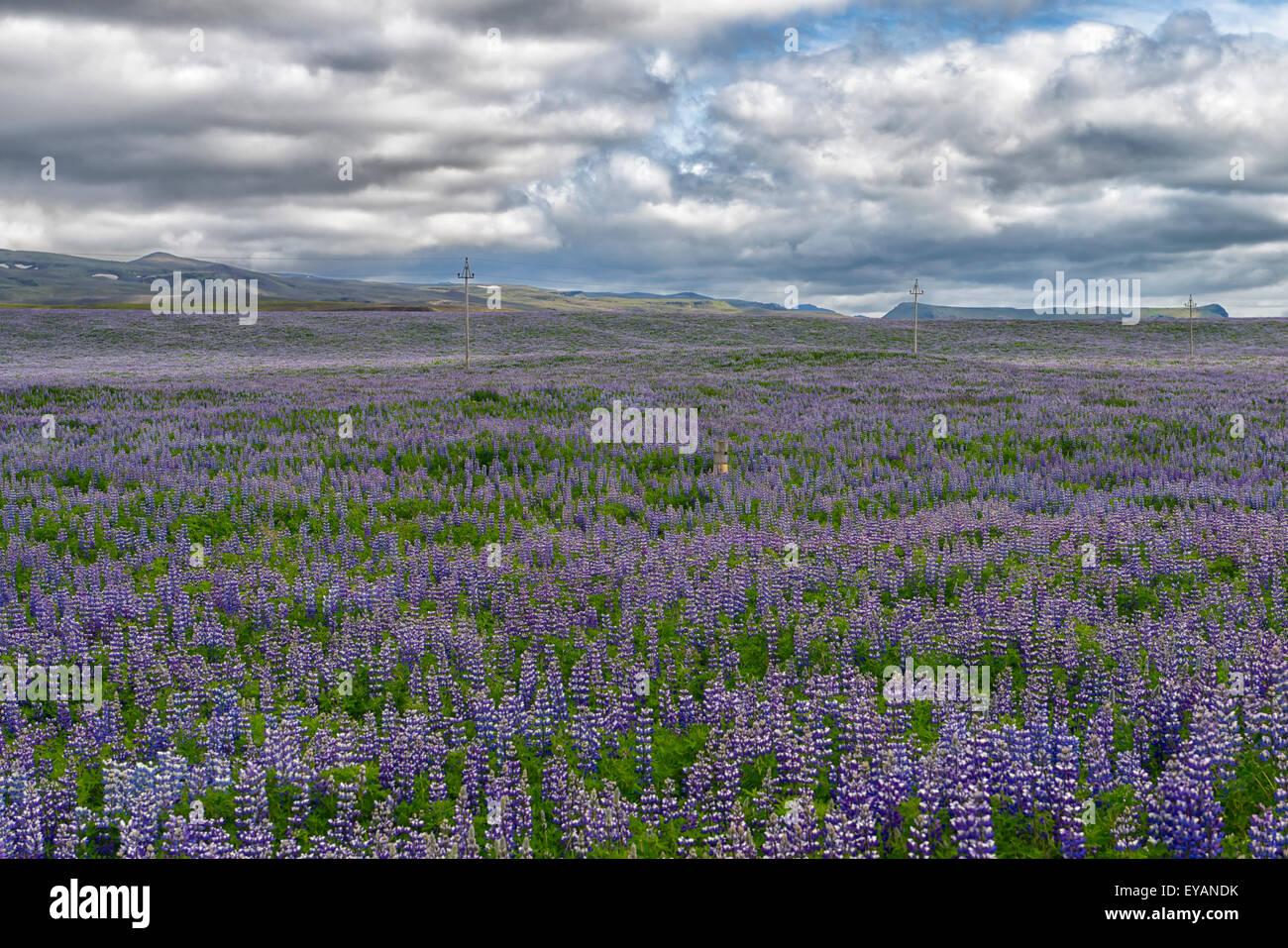 Nootka Lupine Flowers Field near Reykjavik, Iceland - Stock Image