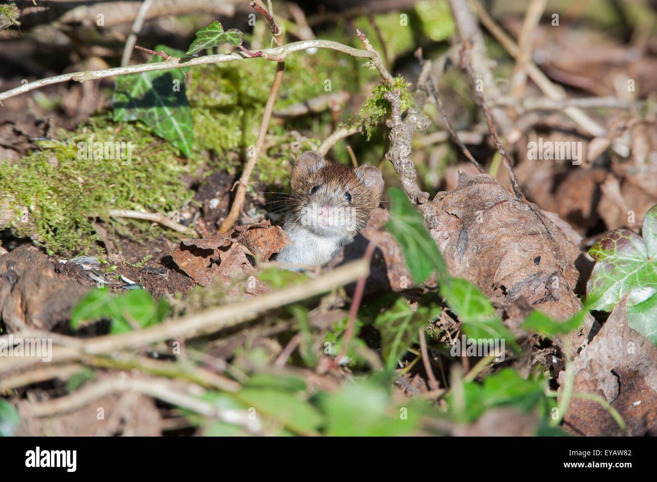 Bank Vole having a look out from hiding. - Stock Image