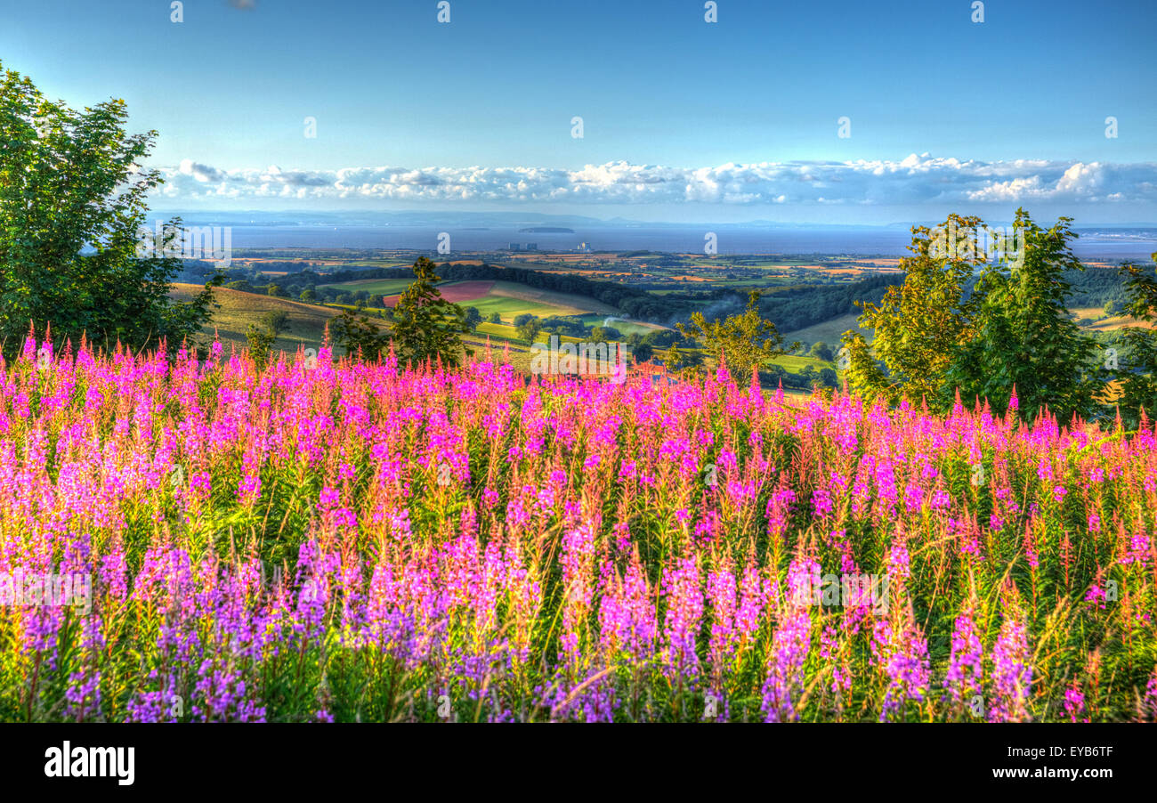 Pink flowers and Hinkley Point from Quantock Hills Somerset England UK towards  the Bristol Channel on a summer Stock Photo