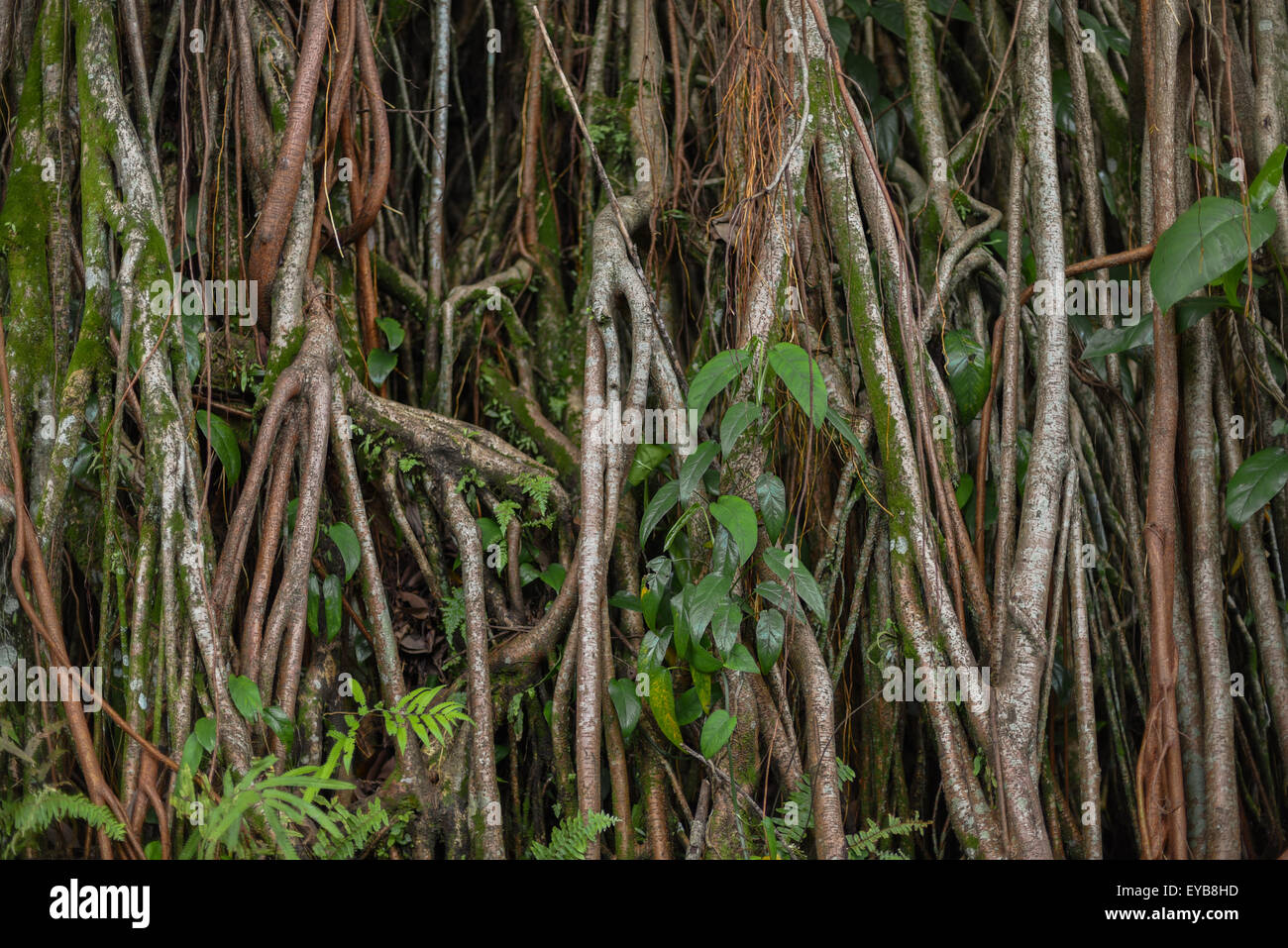 Giant roots of Pandanus trees. - Stock Image