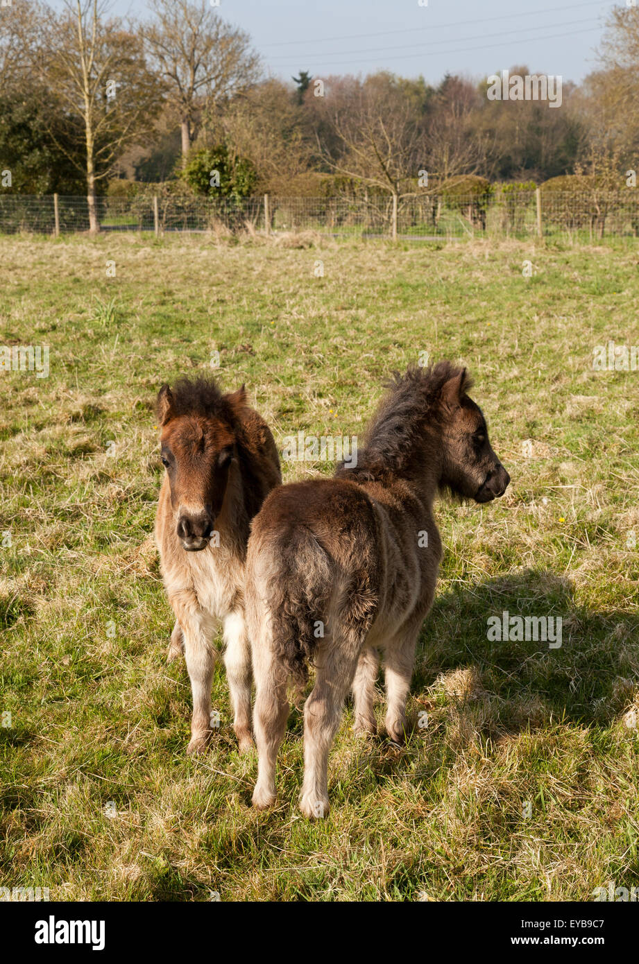 Two young pony foals standing nose to tail - Stock Image
