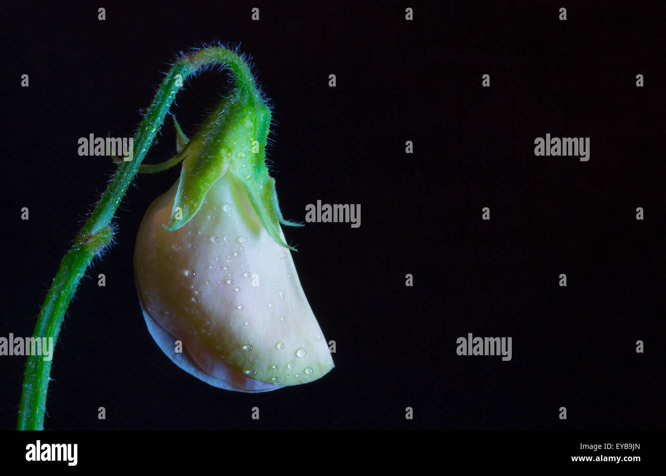 A Sweet Pea side lit, with a black background. Space to right for copy' - Stock Image
