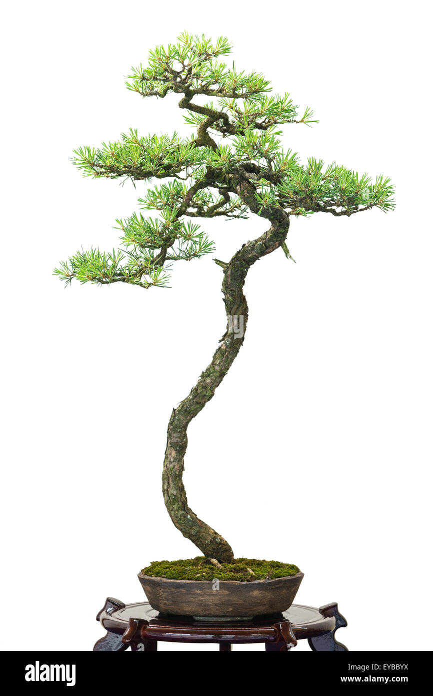 White isolated conifer scotch pine as bonsai tree - Stock Image