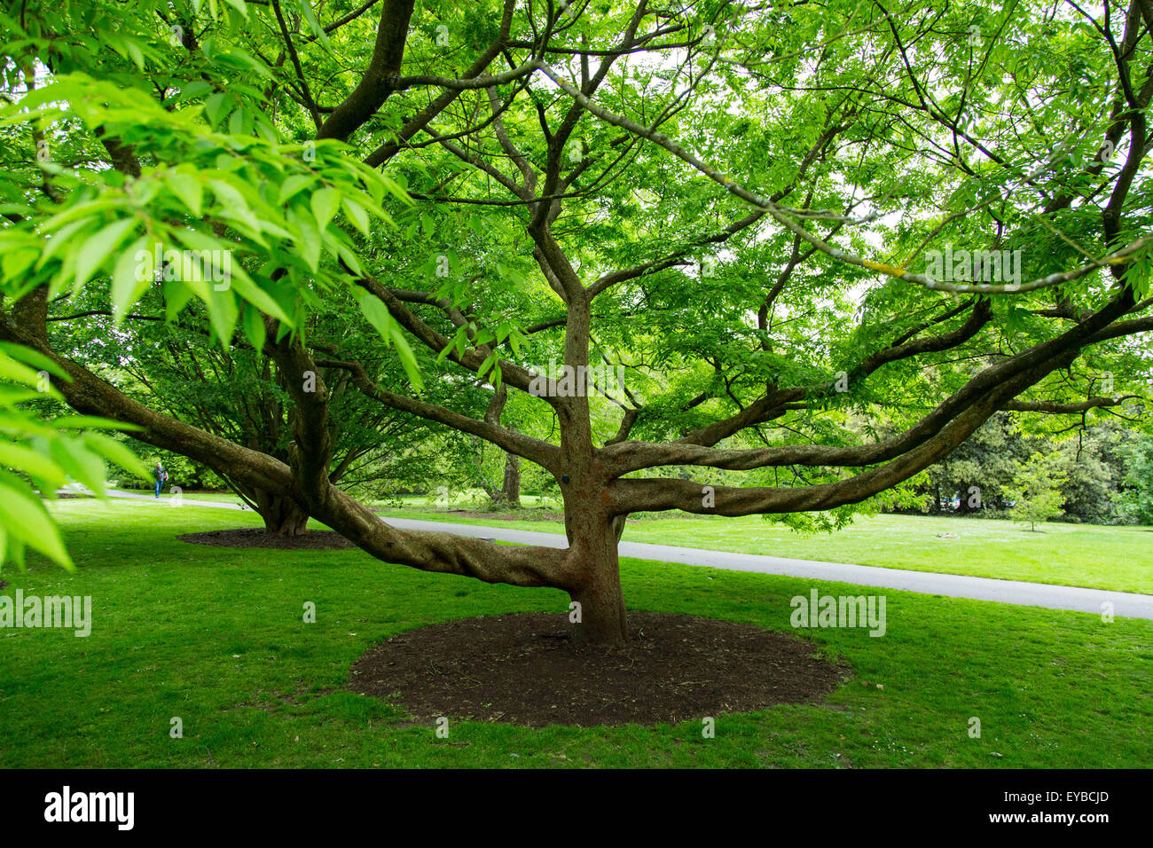 Kew Gardens Schneider's Zelkova tree - Stock Image