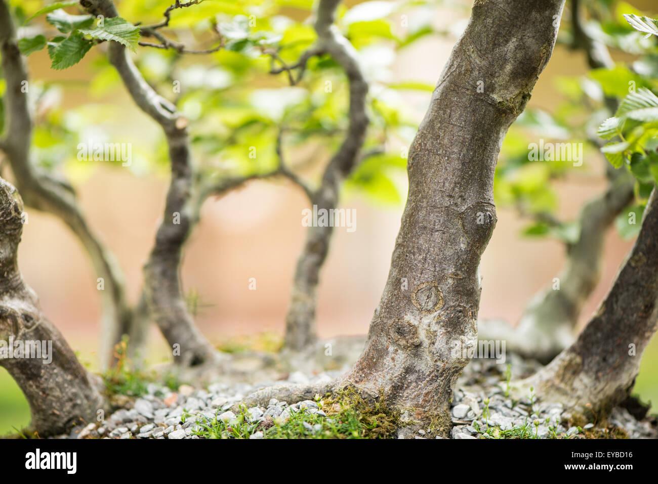 Bonsai forest with common hornbeams (Carpinus betulus) - Stock Image
