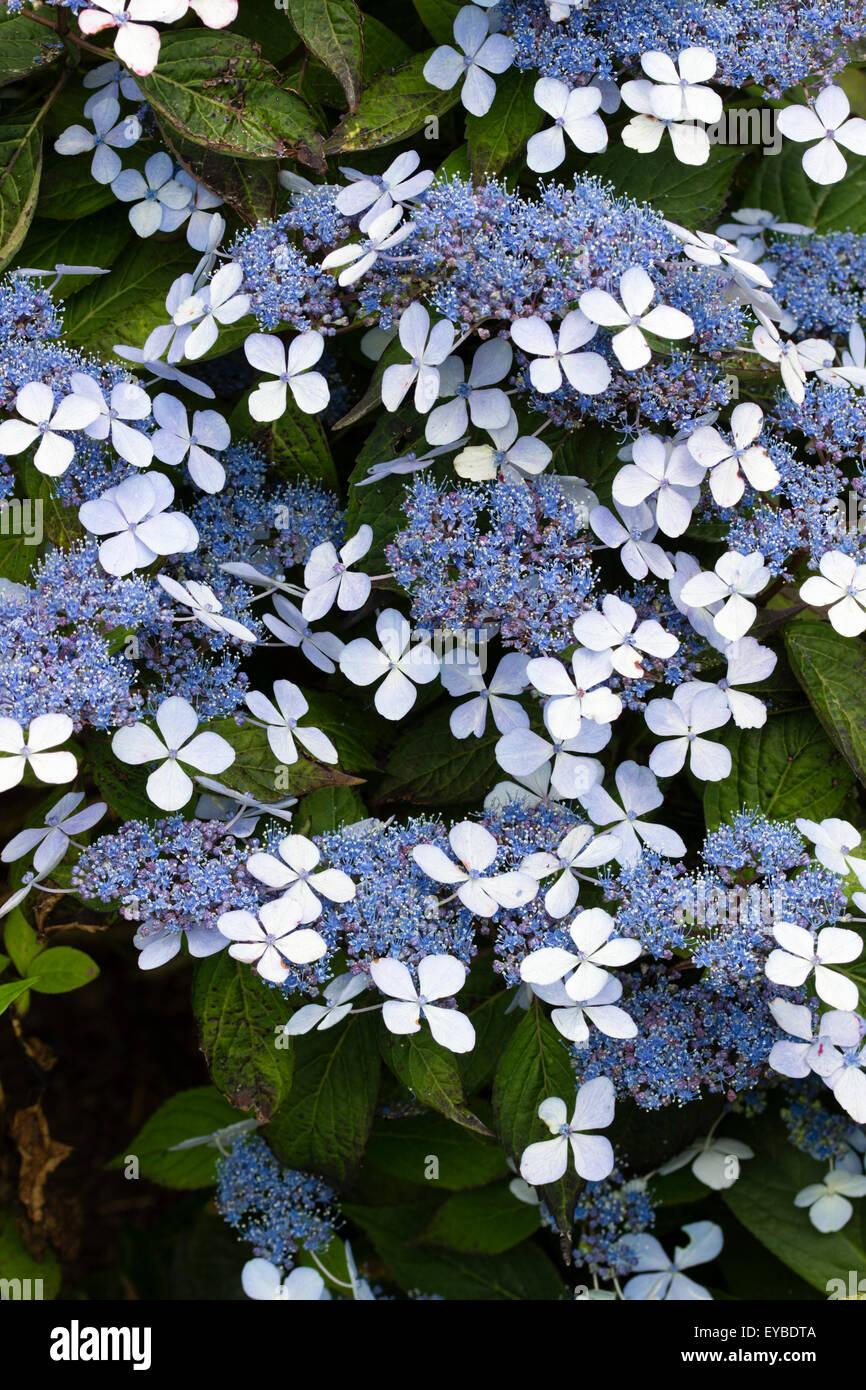Blue and White lacecap flowers of Hydrangea serrata 'Bluebird' Stock Photo