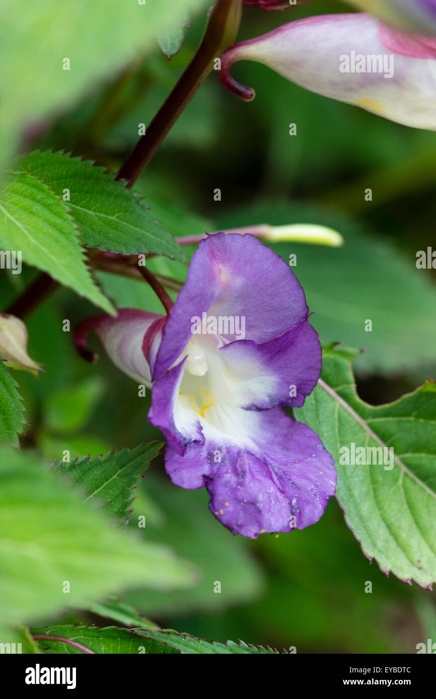 Two toned blue and mauve selection of the hardy Himalayan balsam, Impatiens arguta - Stock Image