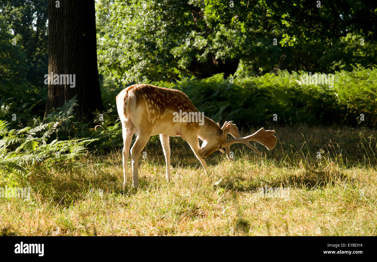 Fallow deer stag in Richmond Park, West London. - Stock Image