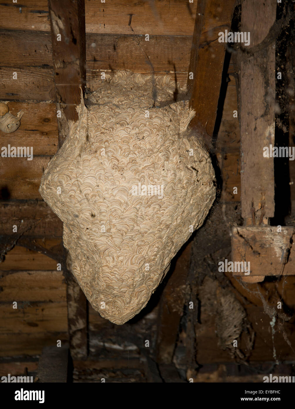 Large wasp nest in house attic. Wasp nest in between rafters of a house loft. & Large wasp nest in house attic. Wasp nest in between rafters of a ...