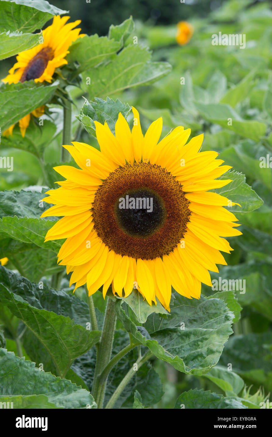 Helianthus annuus. Sunflower 'Ronnie' - Stock Image