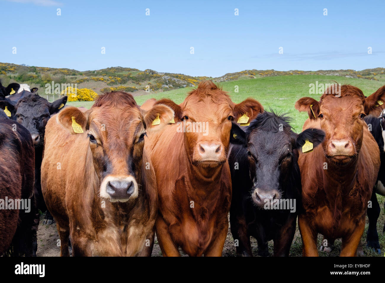 Inquisitive young bulls Bos taurus (cattle) with ear tags in a field. Rhydwyn, Isle of Anglesey, North Wales, UK, - Stock Image