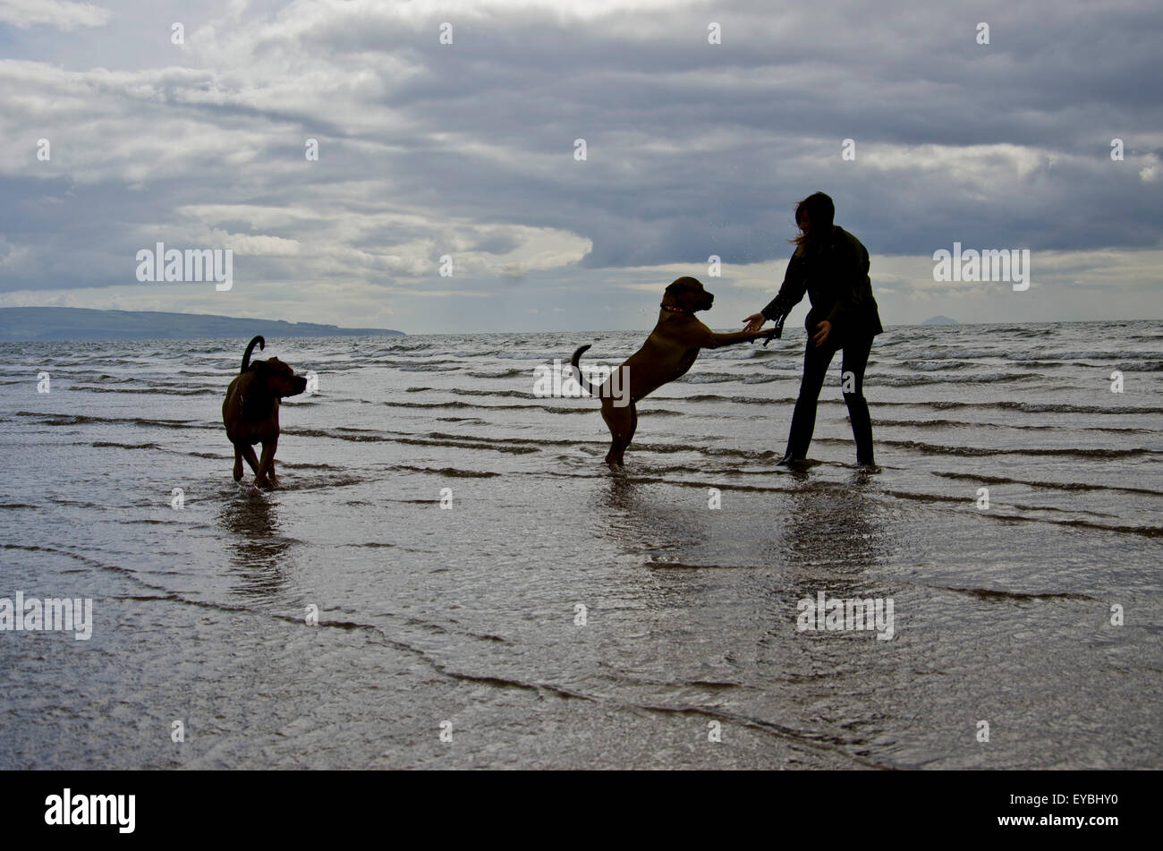 Dogs having fun with their owner on Troon beach, Scotland Stock Photo