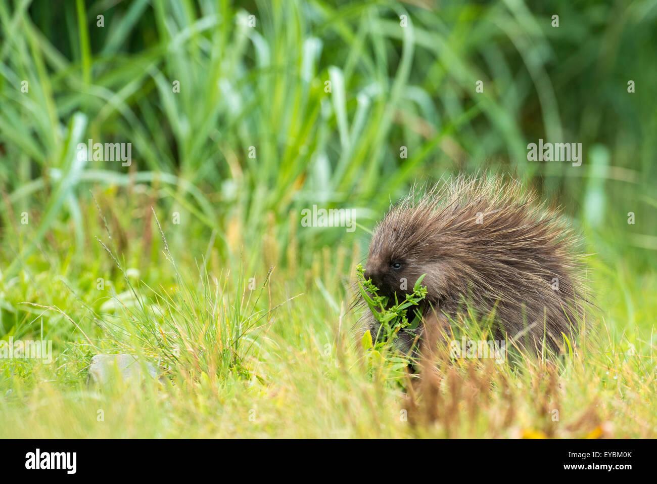 North American Porcupine (Erethizon dorsatum), Glacier Bay National Park, Alaska, USA Stock Photo