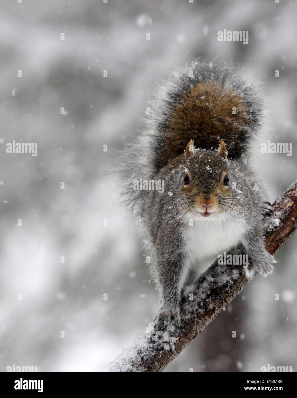 A gray squirrel (Sciurus carolinensis) on a branch in falling snow on a winter morning Stock Photo