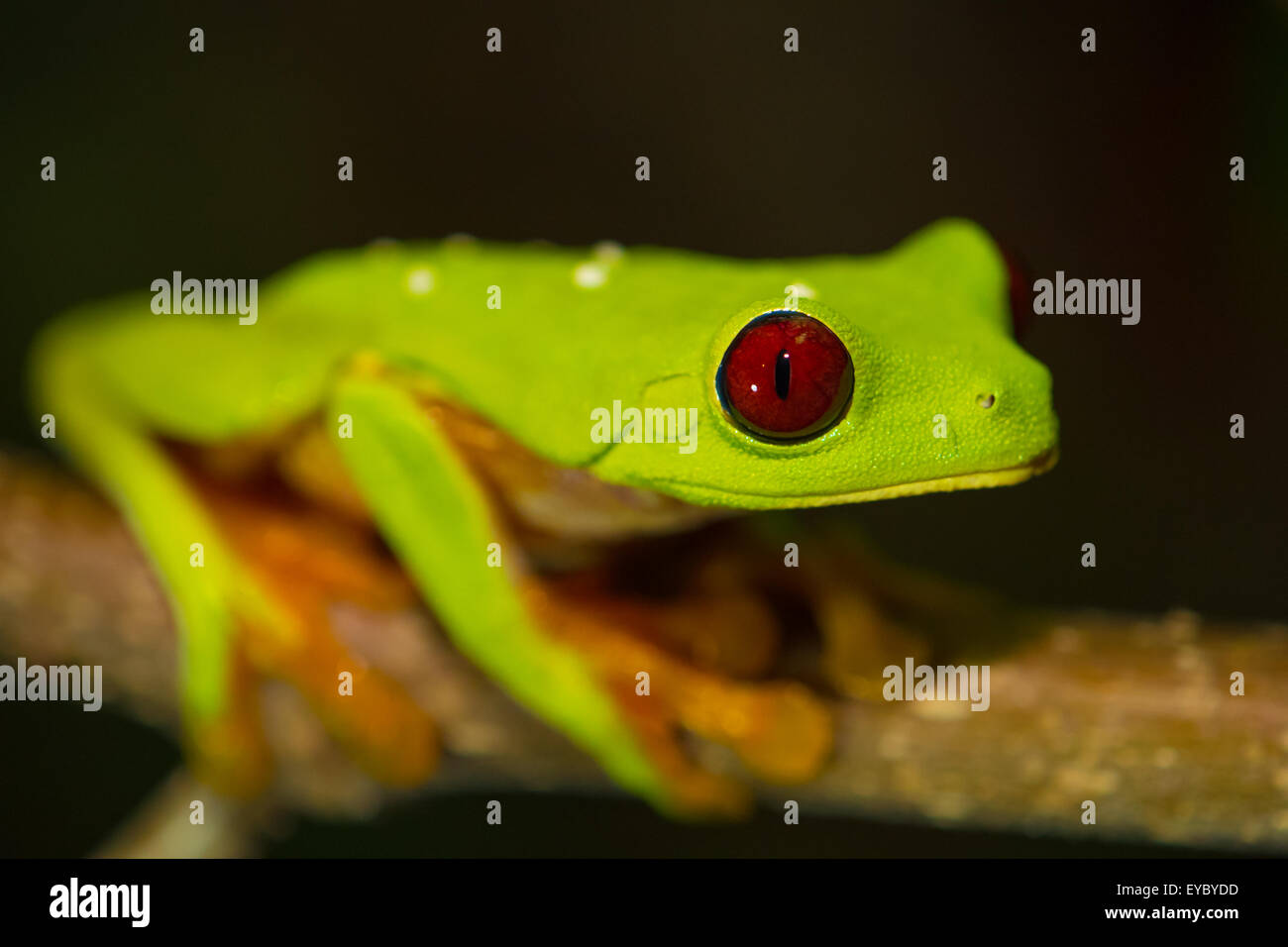 A Gaudy Leaf Frog in Costa Rica - Stock Image