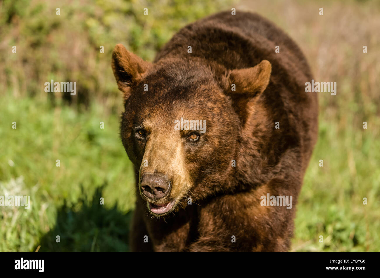 Grizzly bear walking - photo#39