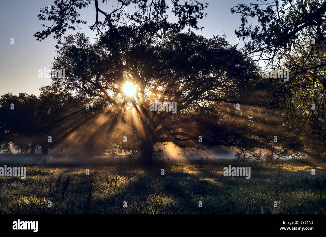 Beautiful morning light glowing through an Oak Tree in New Orleans' City Park.  A beautiful place for off the - Stock Image