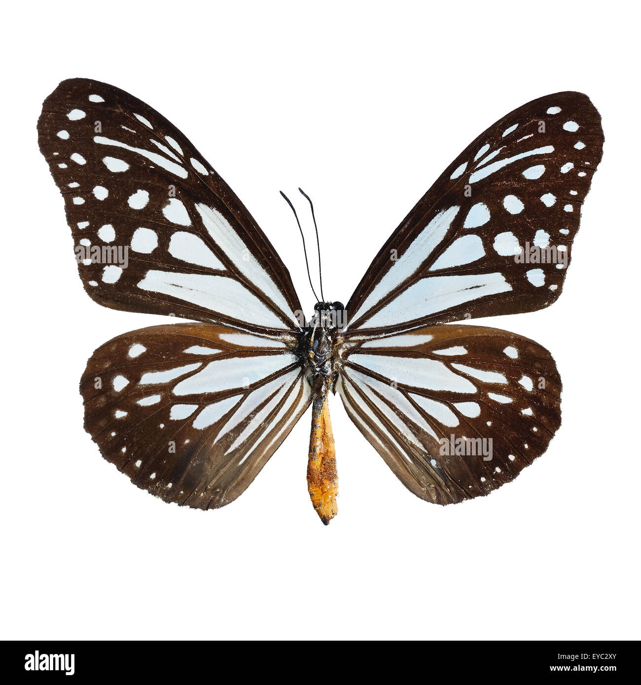 Blue and brown butterfly,Tawny Mime butterfly, isolate on white background - Stock Image