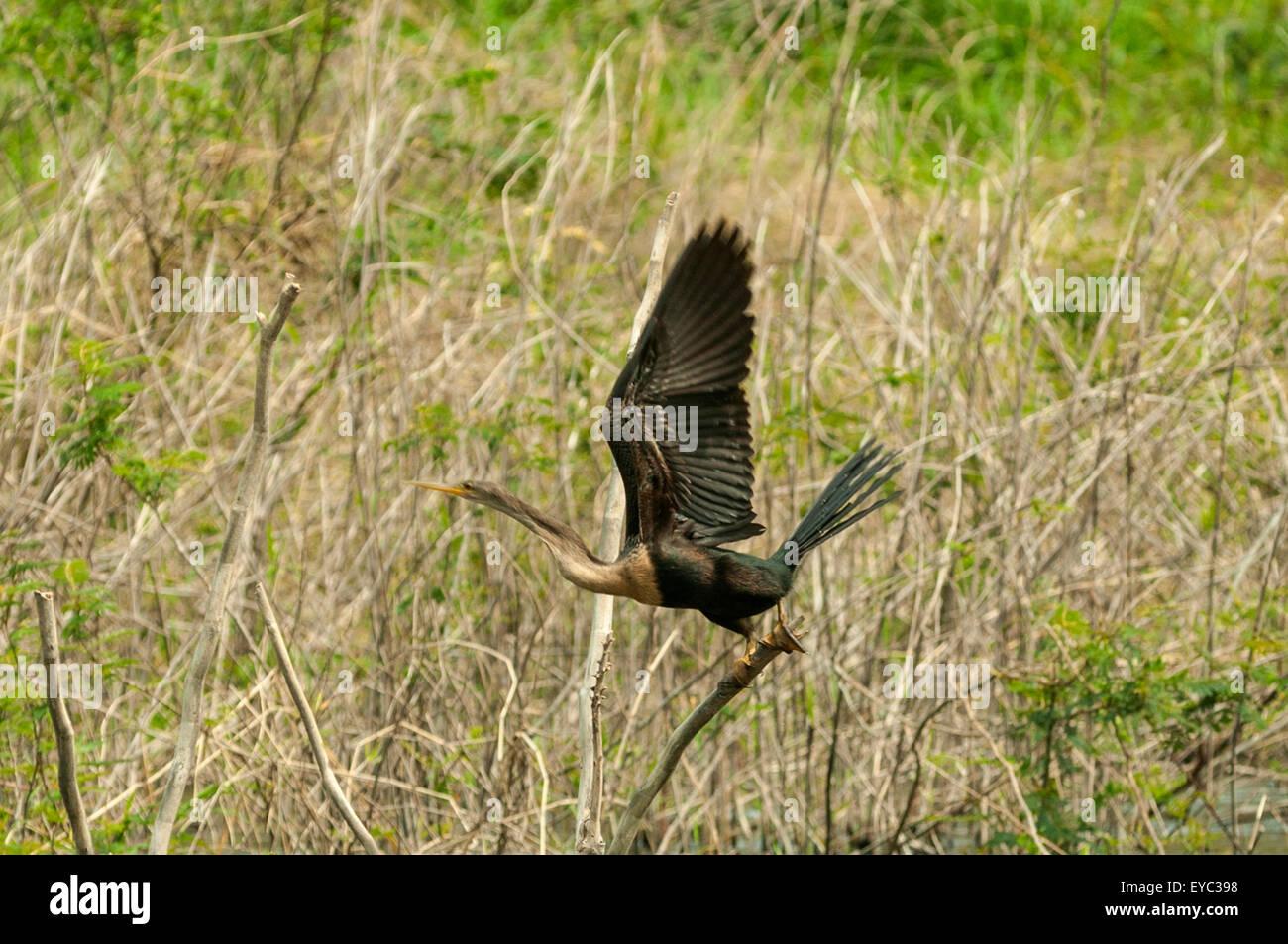 'Anhinga anhinga', Anhinga Taking Off, Lake Arenal, Costa Rica - Stock Image