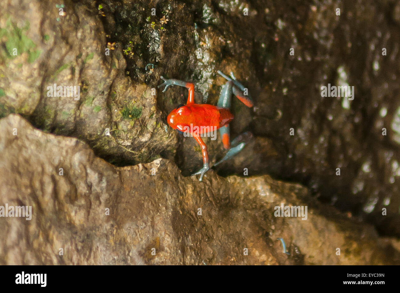 Oophaga pumilio, Strawberry Poison Dart Frog, La Paz Waterfall Gardens, Costa Rica - Stock Image