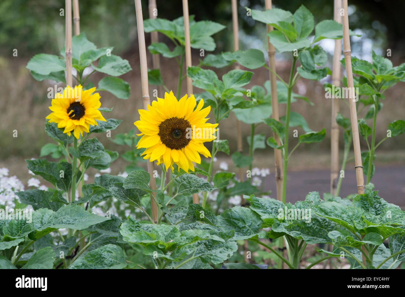 Helianthus annuus. Bamboo canes supporting Sunflowers 'Happy Face' - Stock Image