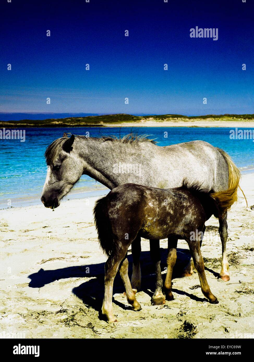 Connemara, County Galway, Ireland; Horses On A Beach - Stock Image