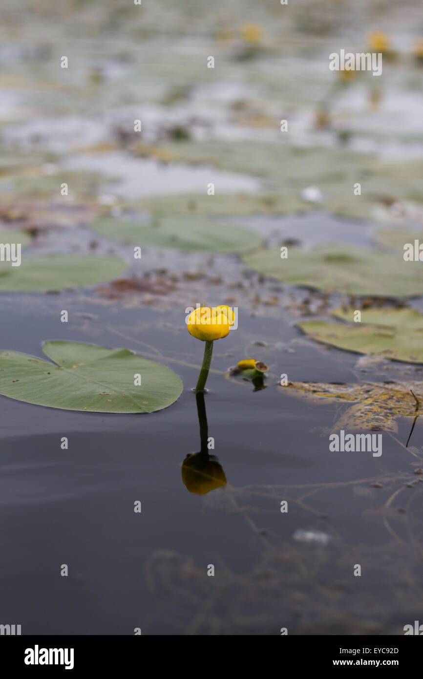 Potbelly yellow water flower - Stock Image