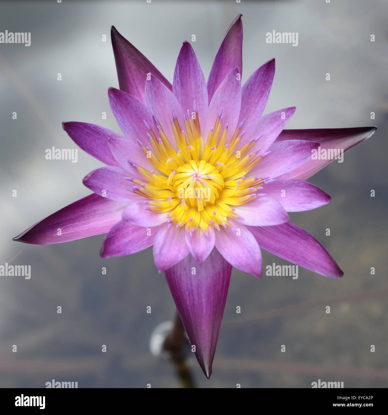 Lotus is water lily that can use for alternative medicine and stock lotus is water lily that can use for alternative medicine and ornamental garden mightylinksfo