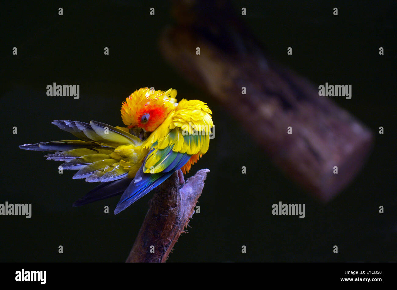 Sun parakeet or sun conure (Aratinga solstitialis) cleans up. - Stock Image