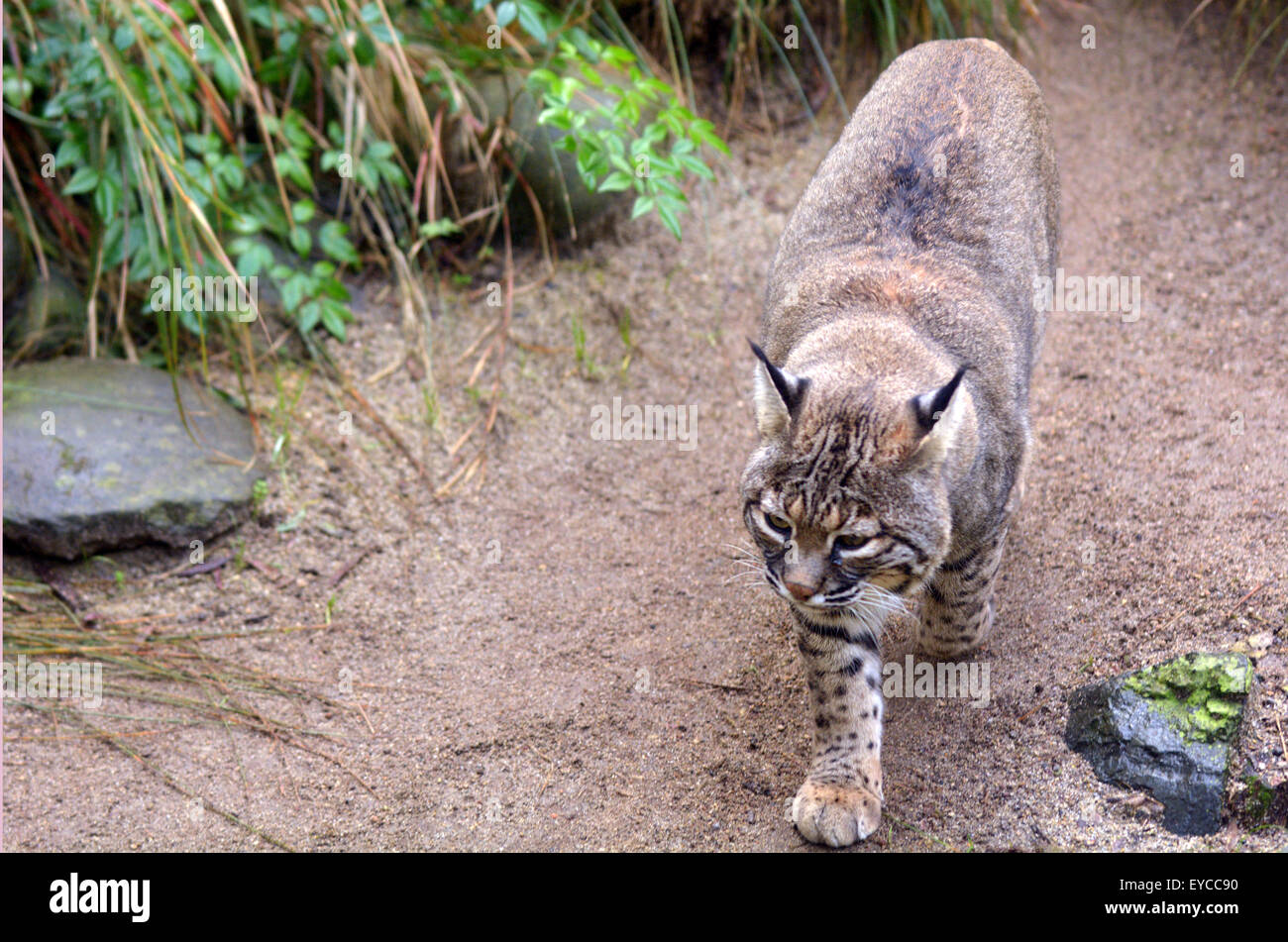 Active Bobcat walks in North America bush land territory. - Stock Image