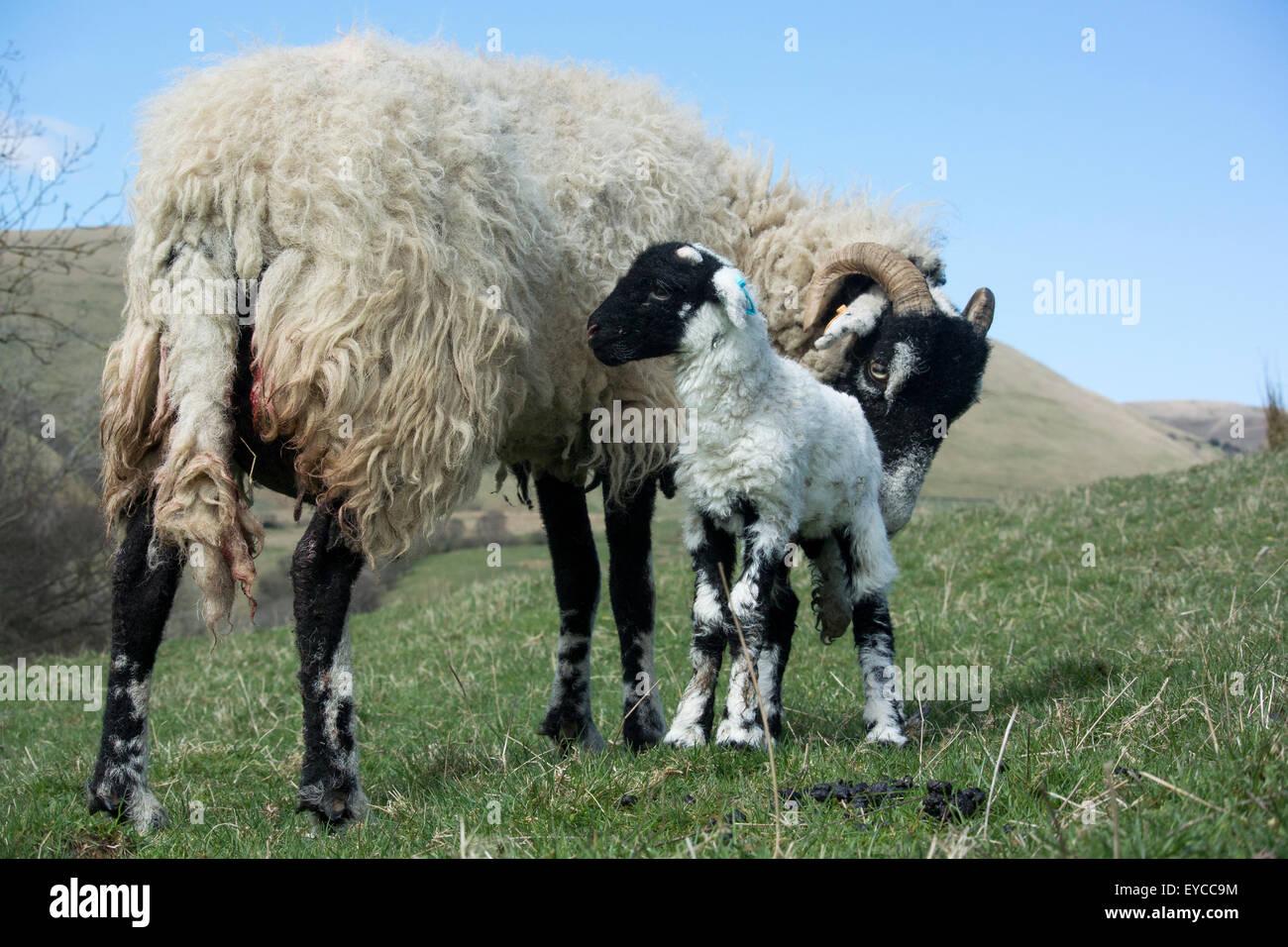 Swaledale ewe with newborn lamb, Cumbria, UK. - Stock Image