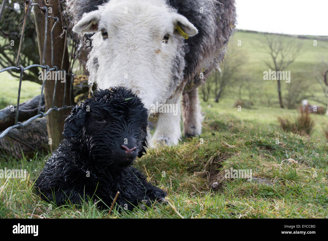 Herdwick ewe with newborn lamb, Cumbria, UK - Stock Image